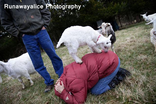 goats02