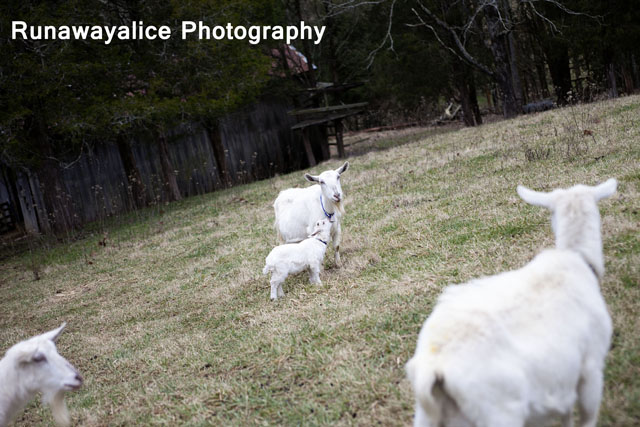goats09