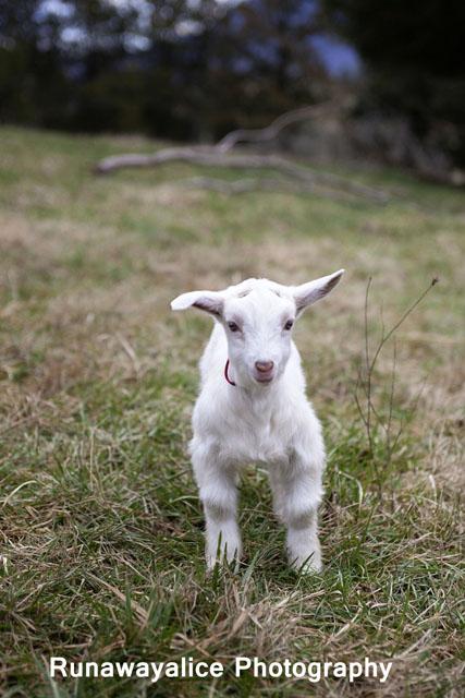 goats17